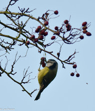 Photo: Blue Tit