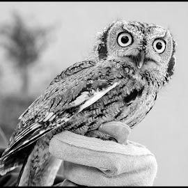 Screech Owl by Dave Lipchen - Black & White Animals ( screech owl )
