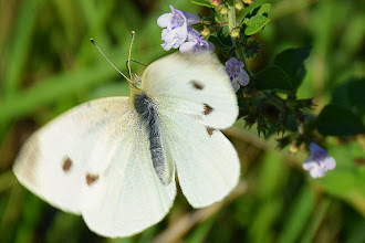 Photo: Pieris brassicae