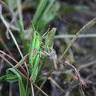 Gold Grasshopper