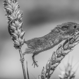 Stretch by Garry Chisholm - Black & White Animals ( mouse, nature, mammal, rodent, mice, garry chisholm )