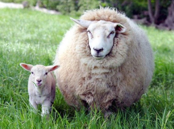 Here is a pic of the real deal.  I wanted a woolly lamb...