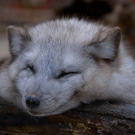 My best fun by Jiri Cetkovsky - Animals Other ( polar, sleep, rest, winter, zoo, fox )