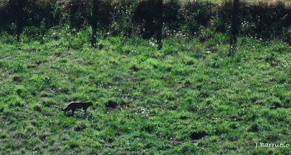 Photo: Mediodía. Treinta grados y este precioso macho de gato montés nos hizo pasar un rato espectacular mientras lo veíamos desde la casa cazando topillos en el prado.