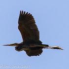 Purple Heron; Ardea Imperial
