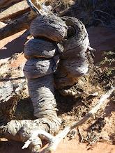 Photo: A very twisted tree