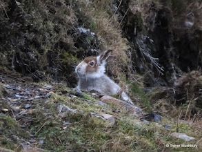 Photo: Mountain Hare, Brown Cow Hill