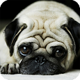 Pug Dog HD Live Wallpaper apk