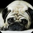 Pug Dog HD Live Wallpaper icon