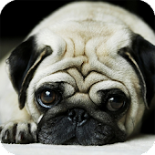 Pug Dog HD Live Wallpaper