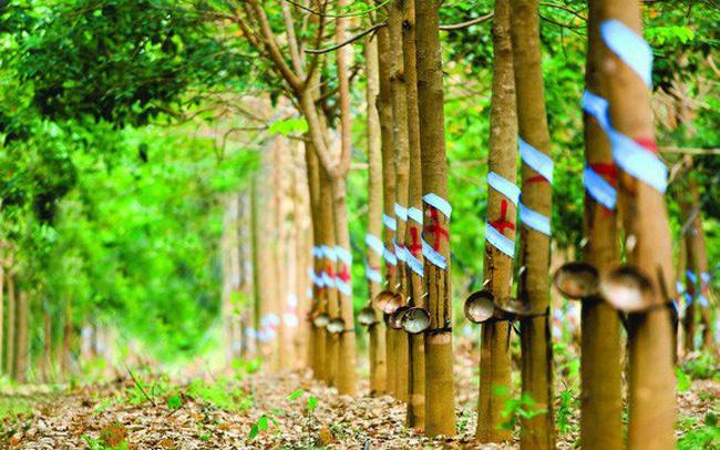 Gỗ cao su: Loại gỗ nên tham khảo