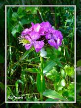Photo: Œillet barbu, Dianthus barbatus