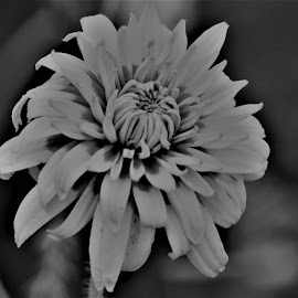 Contrast  in Black and White by Roxanne Dean - Black & White Flowers & Plants ( nature, plant, garden, black and white, petals,  )