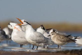 Photo: Royal Tern and Sandpiper
