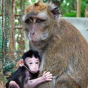 mathernity by Dan Baciu - Animals Other Mammals ( child, family, primate, baby, monkey, mom,  )