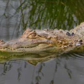 Coco by Fico Stein Montagne - Animals Reptiles ( reflection, animals, animals in water, scary animal, reptile, aligator, nikon d7000 )