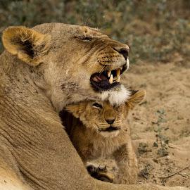 Lioness & cub by Miranda Keller - Animals Lions, Tigers & Big Cats