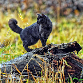 Feline Walk-A-bout by Twin Wranglers Baker - Animals - Cats Playing (  )