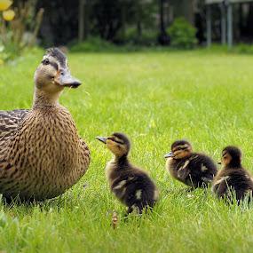 duck by David Branson - Animals Birds