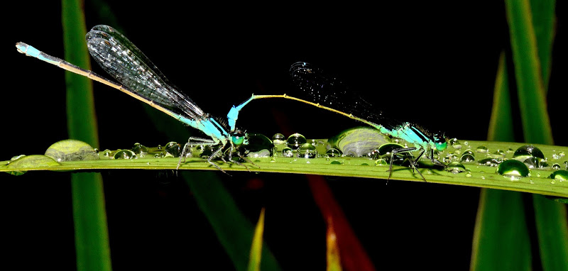Coppia di Ischnura elegans di benny48