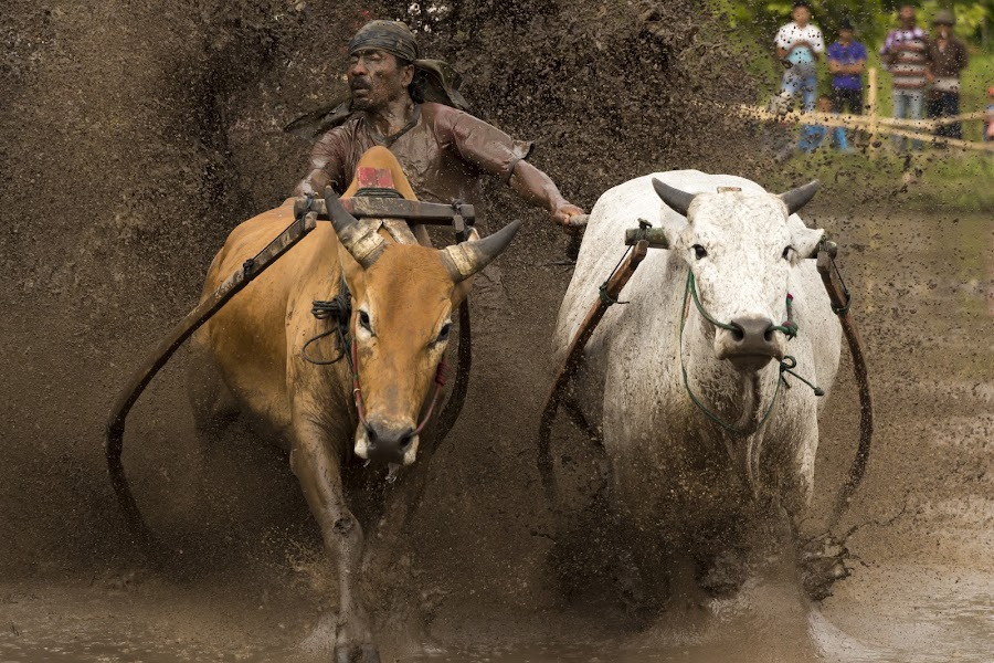 Dirty Dancing by Teddy Winanda - News & Events Sports ( minangkabau traditional sport, west sumatera tourism, indonesia tourism, racing cows, pacu jawi )