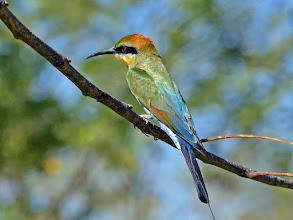 Photo: Day 5 -  Rainbow Bee-eater © Ian Morris