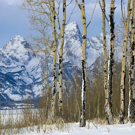 by Dana Johnson - Landscapes Mountains & Hills ( mountains, forest, aspens, tetons, hills, winter )