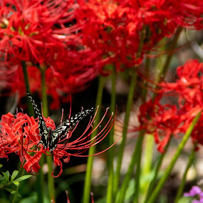 Black on red by Maya Bar - Animals Insects & Spiders ( butterfly, black and white, red flower,  )