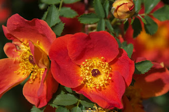 Photo: Rose  05/08
