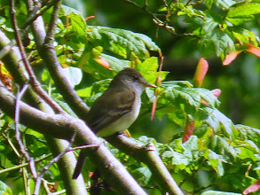 Photo: Willow Flycatcher: http://www.allaboutbirds.org/guide/willow_flycatcher/id