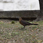 Great tailed grackle Female