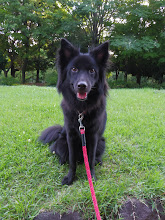 Photo: エヘッ♪ 黒犬にはビビッドカラーがよく似合います。