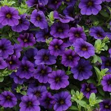 :Plant Images:Million Bells blue.jpg