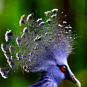 Victoria Crowned Pigeon by PS FOONG - Animals Birds