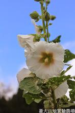 Photo: 拍攝地點: 梅峰-一平臺 拍攝植物: 蜀葵 拍攝日期: 2014_07_04_FY