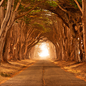 Sunlit Majesty by Christian Wicklein - Nature Up Close Trees & Bushes ( point reyes, tree, fog, california, cypress, beauty, light, golden, tunnel )