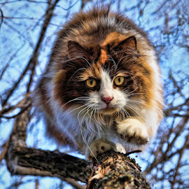 by Jane Bjerkli - Animals - Cats Playing ( fur, motion, tree, portrait, eyes, cute, animals in motion, claws, whiskers, cutest cats, cat, pwc84, animal, pwc76, playing, tricolor, fluffy, climbing, pet )