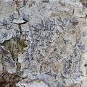Script Lichen