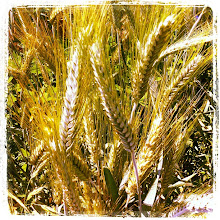 Photo: Wheat field dancing in the wind #intercer #wheat #romania #field #agriculture - via Instagram, http://instagr.am/p/L1uMbCpfq7/