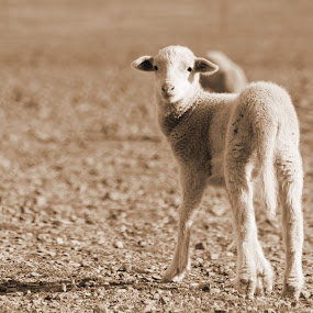 Lonely lamb by Maz Tissink - Animals Other ( sepia )