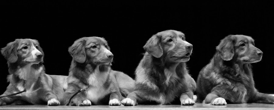 A family of four. by Eliani Miranda - Animals - Dogs Portraits ( sit, look, dogs, black and white, dog, hair, portrait )