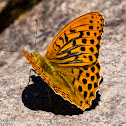 Slver-washed Fritillary