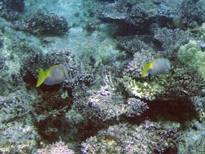 Photo: Siganus doliatus (Barred Rabbitfish), Naigani Island, Fiji