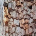 Ghost Gum sp. (with tessellated bark)