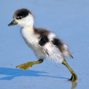 on the run by Justine McGrath - Animals Birds ( water, sand, white, beach, feathers )