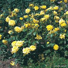 Photo: Beetrose Friesia®, Züchter: W. Kordes' Söhne 1973