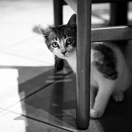 Mauri 01 by Mattia Ferrari - Animals - Cats Portraits ( detail, cat, black and white, black and white puppy, little, nice, black and white photography, natura, cats, love, monochromatic, nature, details, animal photo, lovely, bnw, animal, animals, animal photography, katze, animal shot, animales, portrait, great, monochorme, puppy, small )