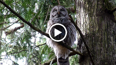 "Video: Barred Owl calling to its mate with it's ""Who cooks for you, who cooks for you-all"" call."
