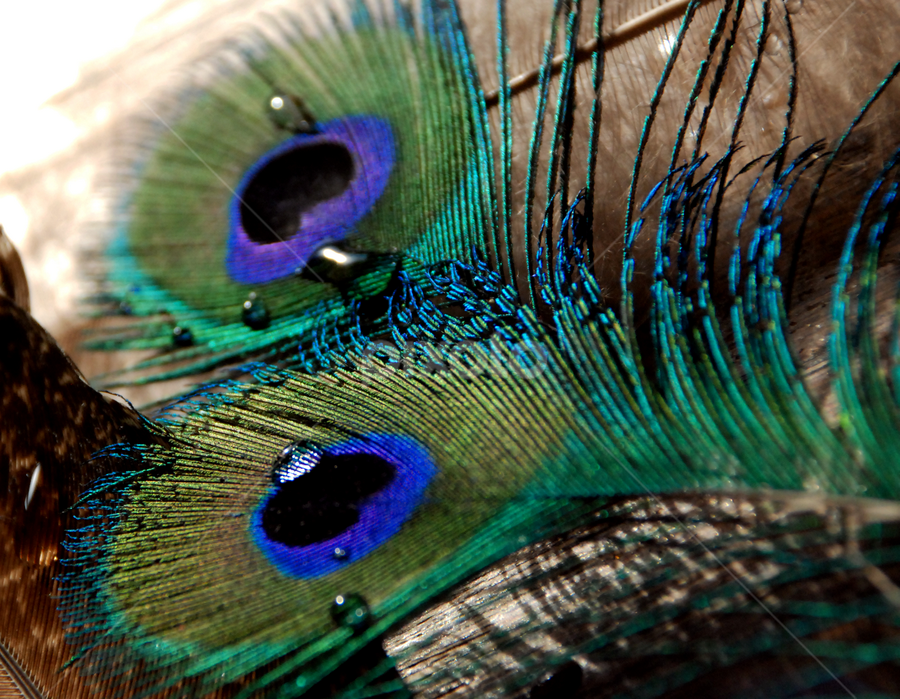 Drop on the feather of a peacock. by Gordana Nikolovska-Dimeska - Nature Up Close Other Natural Objects ( abstract, peacocks, diversity, nuances, details, colorful, drop, colors, background, feather, birds, peacock,  )