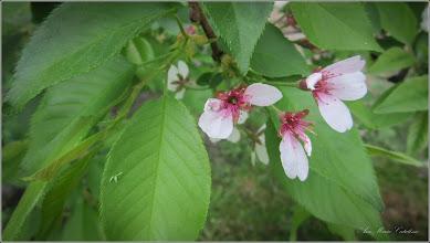 """Photo: Cires pendul (Prunus Avium """"Pendula"""") - din Piata 1 Decembrie 1918, spatiu verde - 2018.04.17"""